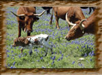 Calf in the Bluebonnets